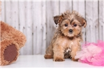 Picture of Gabby - Female Shorkie