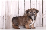 Picture of Scooter - Male Shorkie