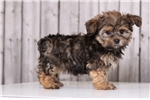 Picture of Bolt - Male Shorkie