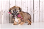 Picture of Peaches - Female Shorkie