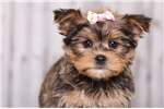 Picture of Delilah - Female Shorkie