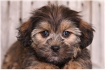 Picture of Mack - Male Shorkie