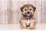 Picture of Snickers - Male Shorkie
