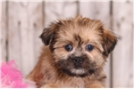 Picture of Rainbow - Female Shorkie