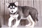 Rainbow - Female ACA Husky | Puppy at 8 weeks of age for sale