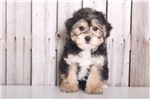 Picture of Rupert - Male Yorkie Poo