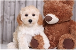 Picture of Mocha - Female Yorkie Poo