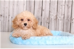 Picture of Elmo - Male Toy Poodle