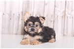 Picture of Dusty - Male Coton-Yorkie