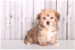 Picture of Epic - Male Yorkie Poo