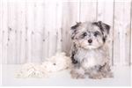 Diego - Male Yorkie Poo | Puppy at 10 weeks of age for sale