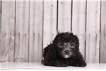 Picture of Einstein - Male Yorkie Poo