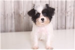 Picture of Henry - Male Teacup F1B Yorkie Poo