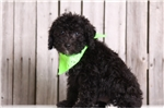 Picture of Curly - Male Yorkie Poo