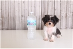 Picture of Violet - Female Micro-Teacup F1B Yorkie Poo