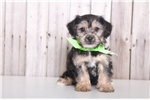 Picture of Poppy - Male Yorkie Poo