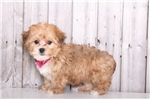 Picture of Ivy - Female Yorkie Poo