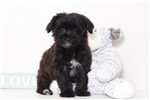 Paisley- Female Yorkie-Poo | Puppy at 17 weeks of age for sale