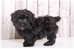 Rocco - Male Yorkie Poo | Puppy at 10 weeks of age for sale