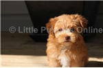Picture of a Yorkinese Puppy