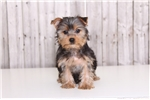 Picture of Cam - Male AKC Yorkie
