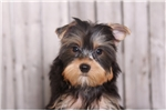 Picture of Striker - Male AKC Yorkie