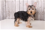 Picture of Fritz - Male AKC Yorkie