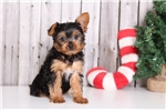 Picture of Prancer - Male Yorkie