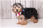 Picture of Rowdy - Male AKC Yorkie