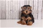 Picture of Rascal - Male Yorkie