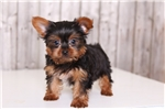 Picture of Rudolph - Male Yorkie
