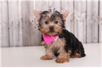 Picture of Moosy - Female AKC Yorkie
