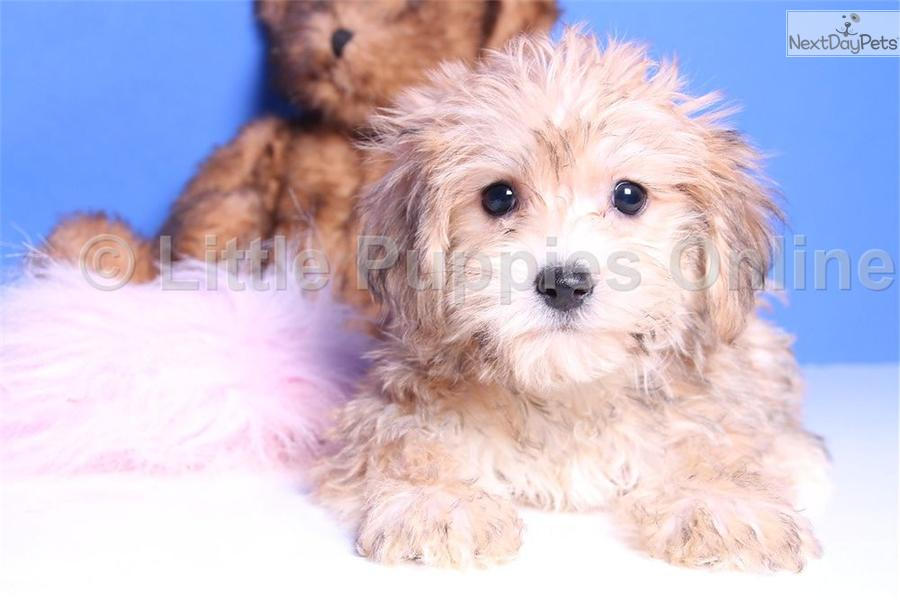 Yorkie Poo Puppies For Adoption | Dog Breeds Picture