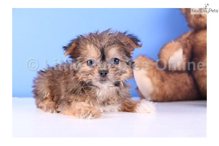 meet joy a cute yorkinese puppy for sale for  499  joy