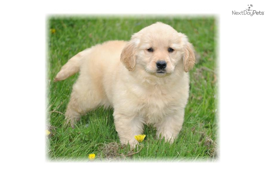 Golden Retriever Breeders In Ma Meet Jewels a cute Gol...