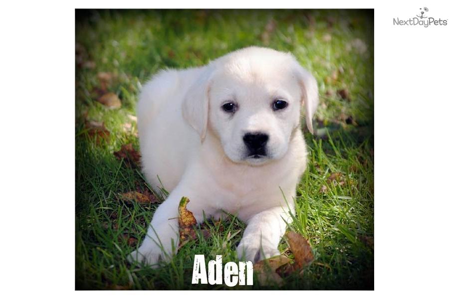 Labrador Retriever puppy for sale near Worcester / Central MA ...