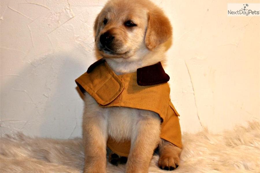 Goldador puppy for sale near Worcester \/ Central MA, Massachusetts  dcf9f7b88f41