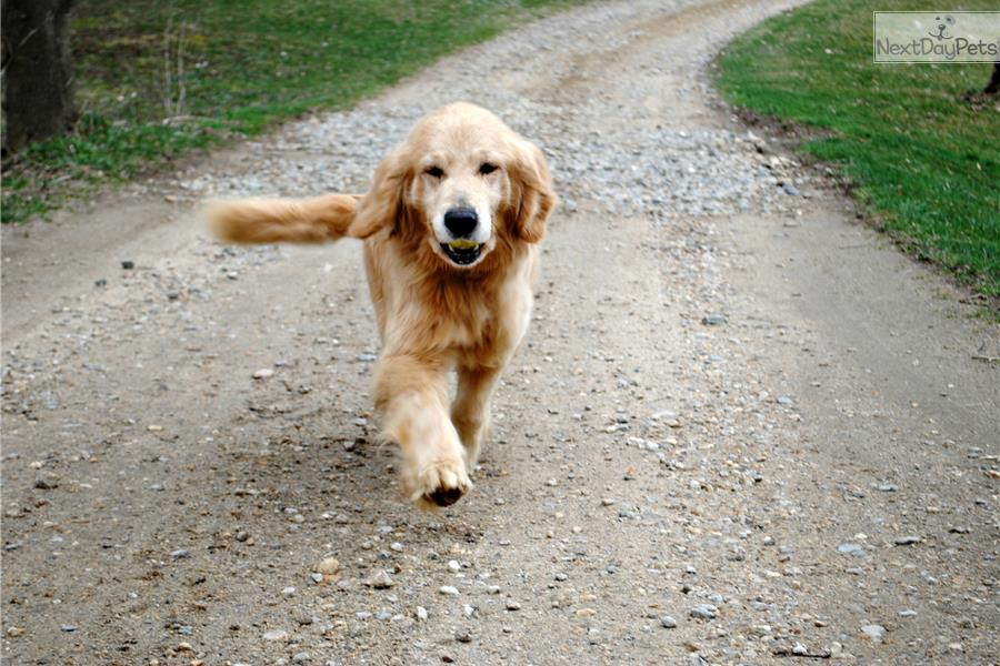 Golden Retriever Breeders In Ma Golden Retriever puppy...