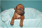 LEGACY RHODESIAN RIDGEBACKS | Puppy at 9 weeks of age for sale