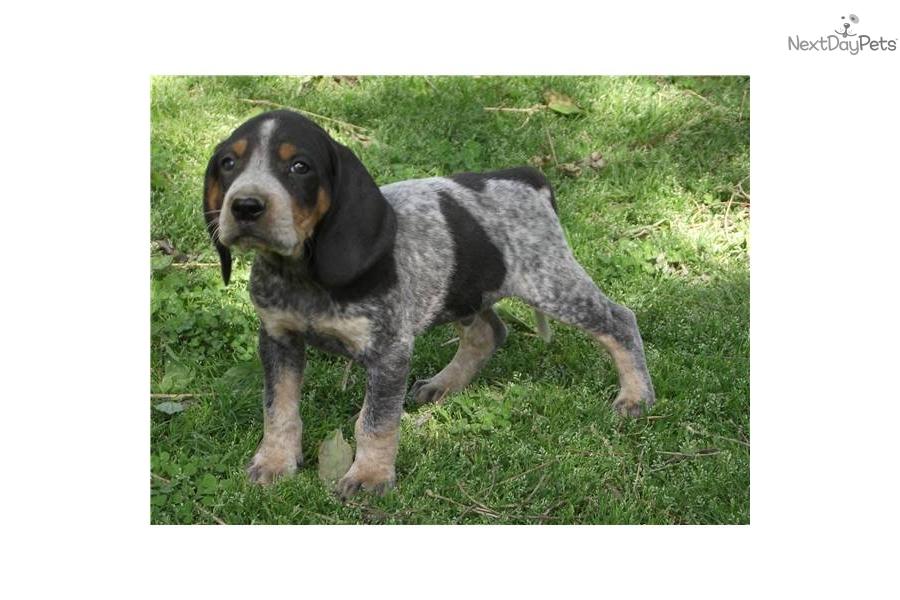 bluetick-coonhound-pup... Bluetick Coonhound House Dog