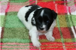 Picture of AKC Cassie