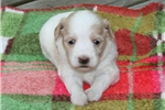 Picture of AKC Tanner