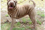 Featured Breeder of Chinese Shar Peis with Puppies For Sale