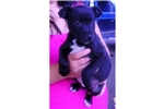 Picture of Adopted! Patterdale/Pitbull