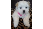Picture of Coco Female Lhasa Apso Puppy