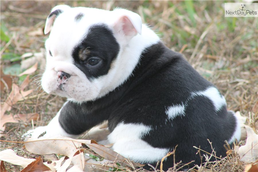 English Bulldog puppy for sale near Charlotte, North ...