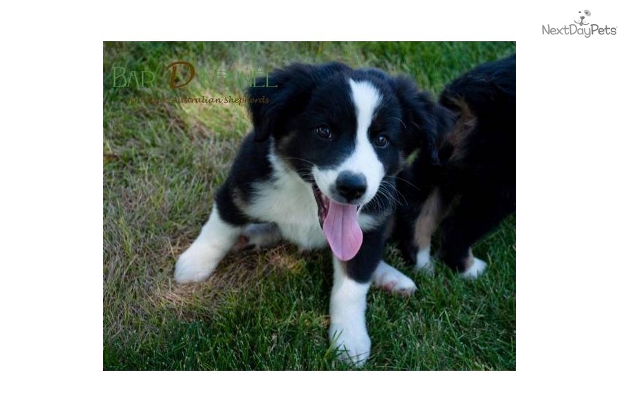 akc miniature mini australian shepherd puppies in orange