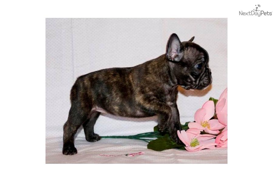 French Bulldog for sale for $1,200, near Tyler / East TX, Texas ...