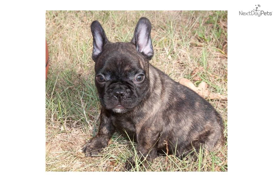 ... Tiger Brindle French Bulldog For Sale Hdrare Tiger Brindle Male French