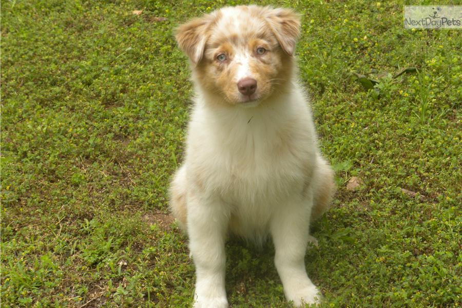 Wa Breeder Toy Mini Australian Shepherd Puppies Autos Post